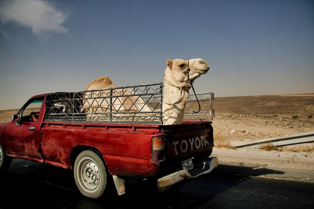 Driving in Jordan - Camel in the back of a Pickup truck